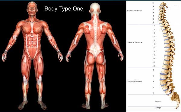 Standard Science/Scientific Human Body Anatomy Book Body Type One (BT1) Diagram/Image - The Four (4) Body Types